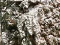 ニセアカシアの樹皮