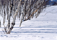 シラカバ並木