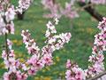 タイトル:モモの花