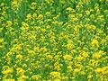 タイトル:菜の花畑