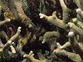 ヒメアナサンゴモドキ