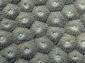 ダイオウサンゴ