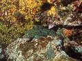 アイナメとムツサンゴ