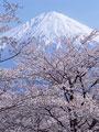 タイトル:サクラと富士山
