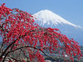 花と富士山