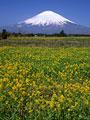 タイトル:花畑と富士山