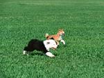 柴犬とオールドイングリッシュシープドッグ