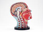 頭部断面模型