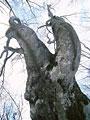 タイトル:巨木