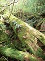 タイトル:倒木