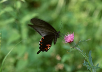 ノアザミと蝶
