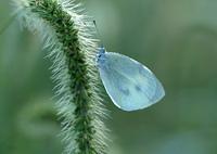 エノコログサと蝶