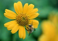 ウサギギクと蜂