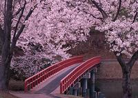 サクラと橋