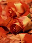 バラと落ち葉