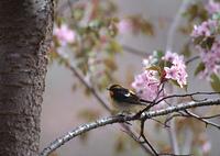 桜とキビタキ