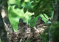 オオタカの巣