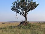チーターと一本の木